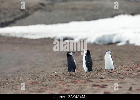 Pingouin de chinstrap Pygoscelis antarctique, adultes, debout sur la plage, île de tromperie, Antarctique en janvier.