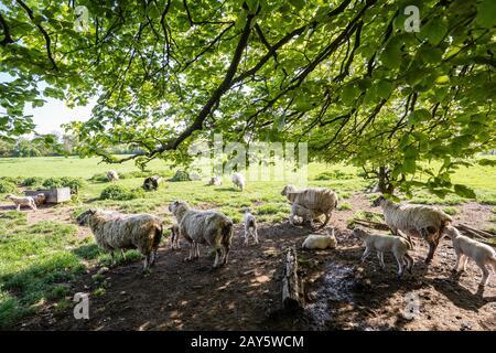 Moutons, brebis et agneaux dans un champ photo : © 2018 David Levenson Banque D'Images