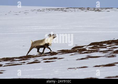 Le renne le long de la pente des collines de la toundra sur un jour nuageux élastique Banque D'Images