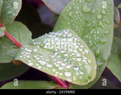 arrondissez les gouttes de pluie congelées en gros plan sur les feuilles d'hiver vertes Banque D'Images