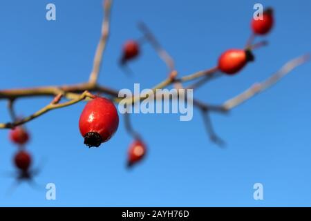 Baies rouges de rosehip sur branche isolée sur fond bleu clair, foyer sélectif. Fruits médicinaux mûrs de briar, plantes curatives Banque D'Images