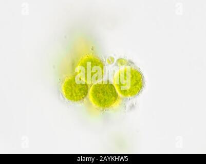 Algues vertes rondes à partir d'eau de drainage de plantes en pots, photographiées au microscope avec objectif 100× huile Banque D'Images