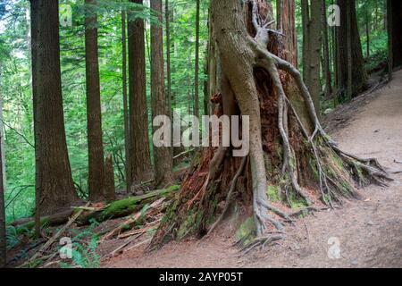 Arbre en pleine croissance hors de l'infirmière, connectez-vous dans les forêts tropicales le long de la rive ouest des montagnes Cascade au parc régional d'Olallie, près de North Bend, Washington St Banque D'Images