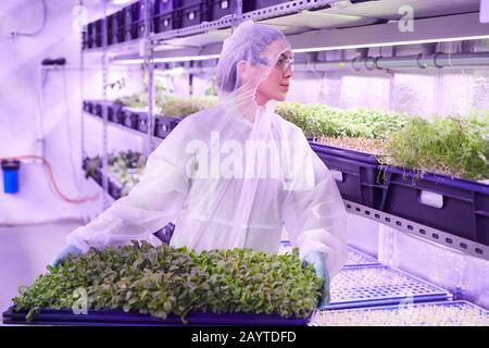 Taille vers le haut portrait de la travailleuse qui tient le plateau avec des pousses vertes tout en se tenant dans la serre de pépinière éclairée par la lumière bleue, espace de copie