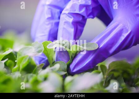 Gros plan extrême de la main gantée cueillant des feuilles vertes fraîches dans la serre de pépinière de plantes, espace de copie Banque D'Images