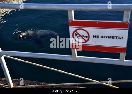 Petropavlovsk-KAMCHATSKY, RUSSIE - 17 FÉVRIER 2020: Un lion de mer du Nord (aussi connu sous le nom de lion de mer de Steller, ou Eumetopias jubatus) est vu à partir d'une plate-forme d'observation de la baie d'Avacha dans la ville de Petropavlovsk-Kamchatsky, sur la côte sud-est du Kamchatka. Le message sur le panneau indique : « rester silencieux ». Les otaries du nord habitent le nord de l'océan Pacifique; ces animaux atteignent plus de 2,5 m de longueur et pèsent plus de 300 kg. Les otaries du Nord figurent sur la liste des espèces en danger de disparition de la Russie. Yuri Smityuk/TASS Banque D'Images