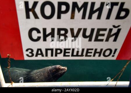 """Petropavlovsk-KAMCHATSKY, RUSSIE - 17 FÉVRIER 2020: Un lion de mer du Nord (aussi connu sous le nom de lion de mer de Steller, ou Eumetopias jubatus) est vu à partir d'une plate-forme d'observation de la baie d'Avacha dans la ville de Petropavlovsk-Kamchatsky, sur la côte sud-est du Kamchatka. Le message sur le panneau indique: """"Nourrir les lions de mer du nord est interdit!"""" les lions de mer du nord habitent le nord de l'océan Pacifique; ces animaux de mer atteignent plus de 2,5 m de longueur et pèsent plus de 300 kg. Les otaries du Nord figurent sur la liste des espèces en danger de disparition de la Russie. Yuri Smityuk/TASS Banque D'Images"""