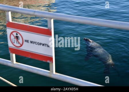 Petropavlovsk-KAMCHATSKY, RUSSIE - 17 FÉVRIER 2020: Un lion de mer du Nord (aussi connu sous le nom de lion de mer de Steller, ou Eumetopias jubatus) est vu à partir d'une plate-forme d'observation de la baie d'Avacha dans la ville de Petropavlovsk-Kamchatsky, sur la côte sud-est du Kamchatka. Le message sur le signe indique: 'Pas de littering'. Les otaries du nord habitent le nord de l'océan Pacifique; ces animaux atteignent plus de 2,5 m de longueur et pèsent plus de 300 kg. Les otaries du Nord figurent sur la liste des espèces en danger de disparition de la Russie. Yuri Smityuk/TASS Banque D'Images