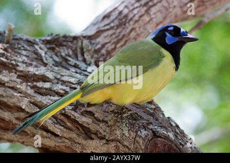 Green Jay, Cyanocorax Yncas, Adulte, Parc D'État Estero Llano, Weslaco, Texas, États-Unis Banque D'Images