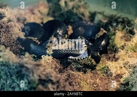 Serpent noir avec large ouverture de bouche