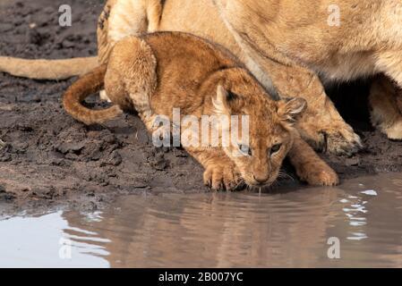 Lion cub buvant au trou d'eau