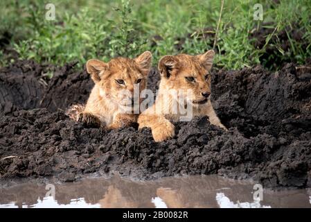 Les oursons de lion refroidissent dans la boue