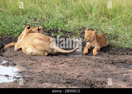 le lion cub est un jeu d'enfants qui joue avec la queue de la maman