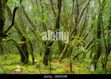 Arbres couverts de Moss dans la forêt nuageuse, parc national de Garajonay, la Gomera, îles Canaries, Espagne