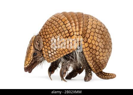Armadillo brésilien à trois bandes, Tolypeutes tricinctus - 4 ans Banque D'Images
