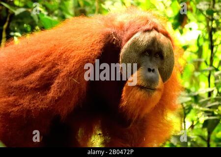 Sumatran orangutan homme dans le parc national de Gunung Leuser Banque D'Images