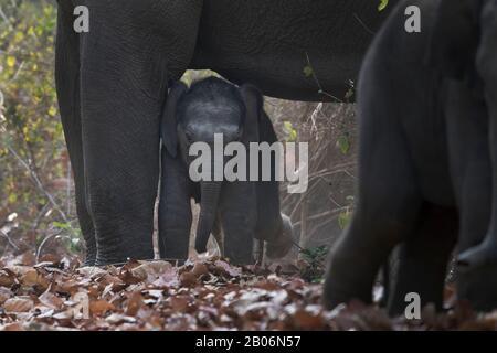 L'image de l'éléphant d'Asie (Elephas maximus) bébé en protection au parc national Corbett, Inde, Asie