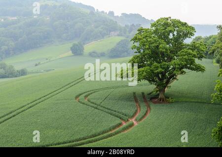 Un arbre isolé dans un champ à l'extérieur du château de Goodrich lors d'une journée brumeuse près de Ross-on-Wye dans le Herefordshire, Angleterre, Royaume-Uni.