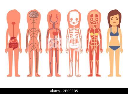 Femme médicale corps anatomie vecteur. Squelette, systèmes musculaires, circulatoires, nerveux et digestifs. Système de soutien à la vie humaine de l'illustration de l'ensemble, anatomie du corps humain Banque D'Images