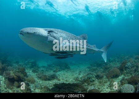 Les Snorklers à la surface suivent un requin baleine, Rhiniodon typus, qui navigue sur une zone de récif peu profond, aux Philippines. C'est la plus grande espèce du monde