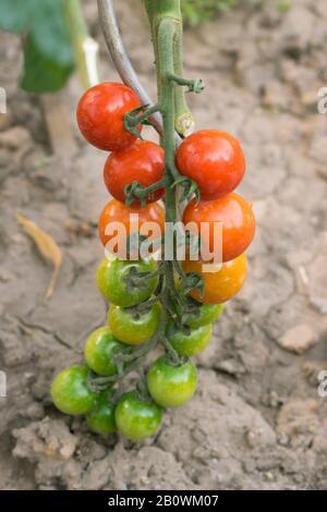 Branche de tomate avec tomates mûres et non mûres de couleur verte, orange et rouge. Gros plan sur les brindilles de plantes de vigne bio/bio de jardin. Banque D'Images