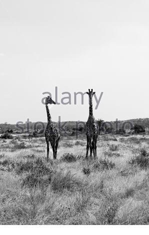 Deux girafes de Masai, Giraffa camelopardalis tippelskirchi, Parc national de Ruaha, région d'Iringa, Tanzanie centrale, Afrique, Banque D'Images