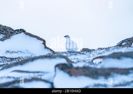 Rock Ptarmigan (Lagopus muta) à Cairn Gorm dans les Highlands écossais en hiver, au Royaume-Uni