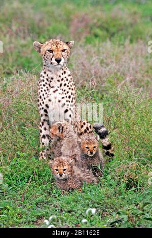 Cheetah (Acinonyx jubatus), guépard féminine assise avec trois coudées dans la savane, vue de face, Tanzanie Banque D'Images