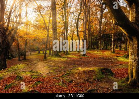 Étoile du soleil et rayons de soleil qui brillent dans les branches des arbres d'automne de couleur dorée dans le parc forestier de Tollymore. Newcastle, County Down, Irlande Du Nord Banque D'Images
