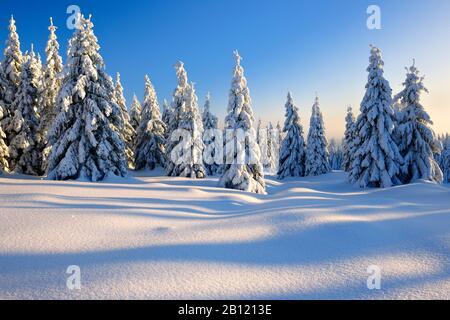 Paysage hivernal couvert de neige dans la lumière du soir, épinettes enneigées, parc national de Harz, Saxe-Anhalt, Allemagne Banque D'Images