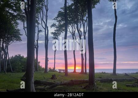 La forêt des fantômes Nienhagen avec coucher du soleil, Börgerende-rethwisch, Mecklenburg-Vorpommern, Allemagne
