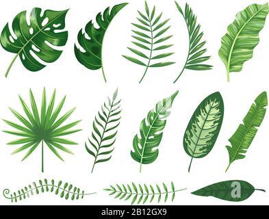Feuilles tropicales exotiques. Feuille de plante de Monstera, plantes de banane et tropiques verts feuilles de palmier isolé vecteur illustration set Banque D'Images