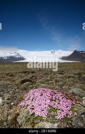 Moss campion, coussin rose (Silene aculis), végétation de la toundra à Kfjarjokull, Islande