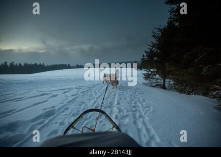 Chien de Traîneau Husky tour, forêt de Thuringe, Allemagne