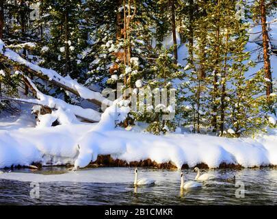 Cygnus buccinator, groupe sur Madison River en hiver, États-Unis, Wyoming, Yellowstone National Park, West Yellowstone Banque D'Images