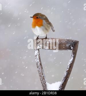 Robin Erithacus rubecula, sur la fourche de jardin, dans la neige, Aberdeenshire, Écosse Banque D'Images