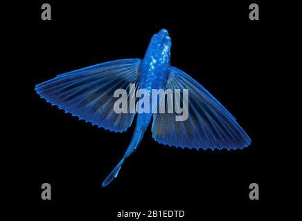 Poissons volants non identifiés, Exocoetidae, photographiés d'en haut montrant sa belle coloration bleue. Plongée en eau noire près de la surface de Palm Beach Banque D'Images
