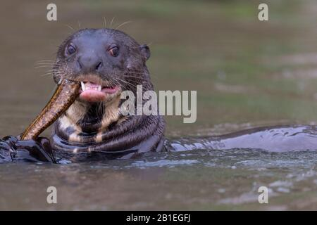 Otter géant (Pteronura brasiliensis) manger un poisson, région de Pantanal, Mato Grosso, Brésil