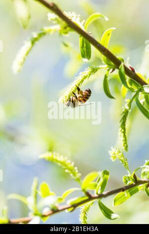 Abeille Sur Fleur De Saule, Parc Naturel Régional Du Verdon, Var, France Banque D'Images