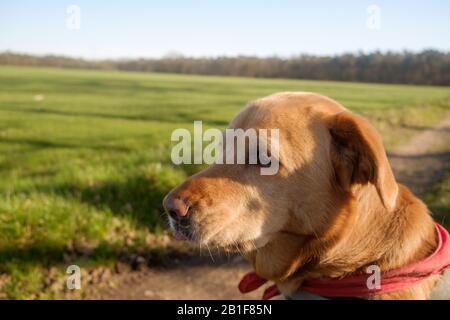 un labrador avec un bandana rouge regarde la distance. Il semble qu'elle soit dans des pensées profondes tout en profitant du soleil au-dessus de Dessel, Belgique. Banque D'Images