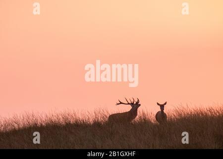 Cerf rouge (Cervus elaphus), paire en soirée, Pays-Bas, Gueldre, Parc national Hoge Veluwe Banque D'Images