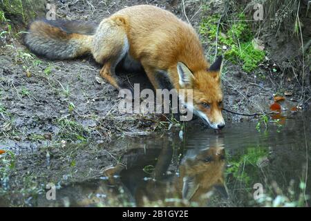 Renard rouge (Vulpes vulpes), burinkend d'un ruisseau, Pays-Bas, Gueldre Banque D'Images