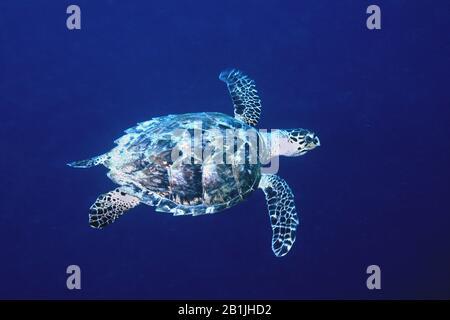 Tortue belliciste, tortue de mer belliciste (Eretmochelys imbricata), Antilles néerlandaises, Curaçao