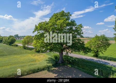 Chêne commun, chêne pedunculate, chêne anglais (Quercus robur. Quercus pedunculata), chêne sur le bord de la route dans le paysage de terrain, vue aérienne, Allemagne, Bavière, Oberbayern, Haute-Bavière, Kirchamper Banque D'Images