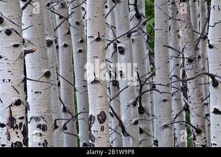 quaking aspen (Populus tremuloides) grove dans le Colorado du centre-ouest