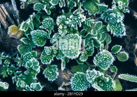 Arrière-plan abstrait avec herbe verte et feuilles recouvertes de givre. Vue de dessus. Cristaux de glace sur l'herbe verte après le premier gel. Banque D'Images