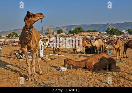 Chameau coloré décoré sur le chameau et le bétail, Puskar Mela, Pushkar, Rajasthan, Inde Banque D'Images