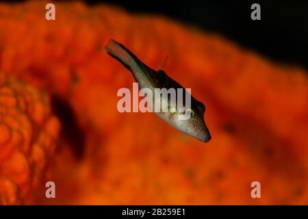 Un puffer de la Valentin explore le récif de Buddy à Bonaire, aux Pays-Bas. Le nom scientifique est Canthigaster valentine.