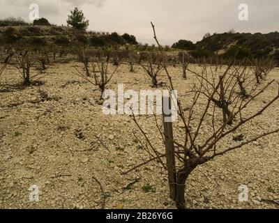 Vignes dans le vignoble de Ktimo Gerolemo à Omodos Chypre, produisant une sélection de raisins primés pour les vins rouges et roses et les vins sucrés