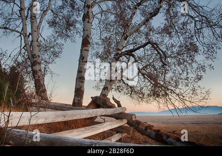 Vue plus rapprochée de l'arbre du peuplier Sans Feuilles poussant dans la ligne de clôture Worm qui longe le côté du champ d'automne avec des collines en arrière-plan sous le début Banque D'Images
